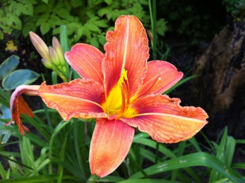 Day lily - hemerocallis fulva