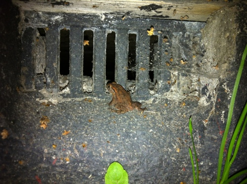 Young toad escaping - or not