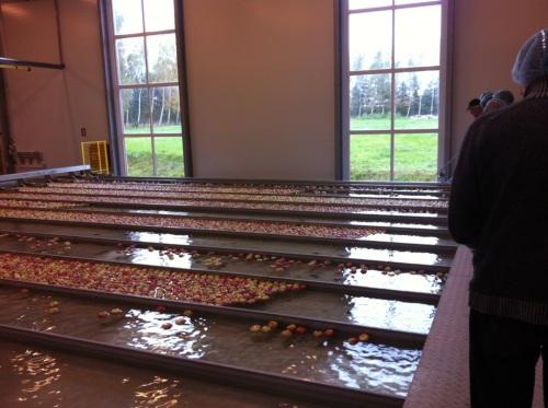 Ørskov Frugt - sorting apples