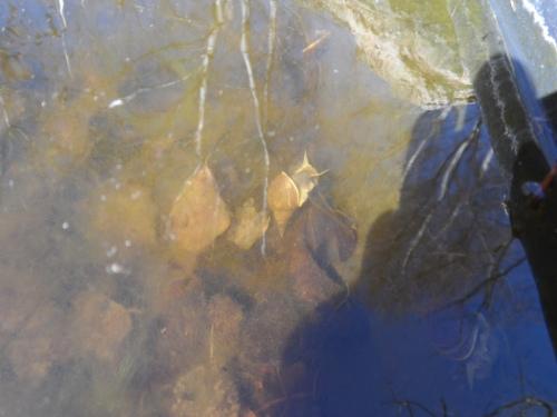 Aquatic snail