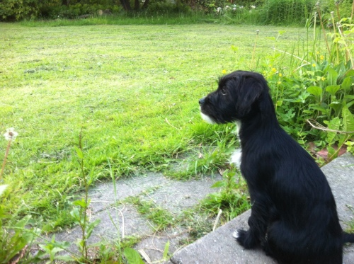 Flâneur Puppy