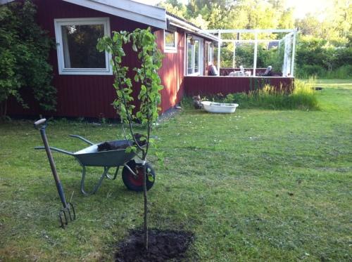 Plum tree 'Anita'
