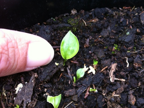 hosta seedlings