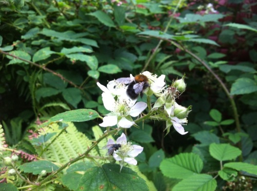 Bumble bee and brambles